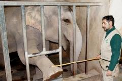 Sessione-di-training-finalizzata-alla-manutenzione-delle-unghie-delle-zampe-anteriori-Elefante-asiatico-Elephas-maximus