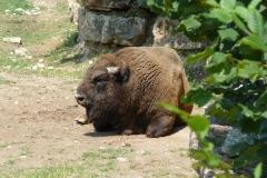 Bisonte-europeo-Bison-bonasus-