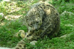 Leopardo-delle-nevi-Panthera-uncia