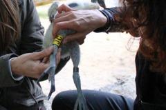 Operazione-di-inanellamento-su-ibis-sacro-Threskiornis-aethiopicus